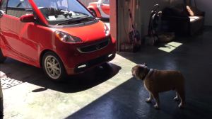 smart car elecric drive and Seymour the travel bulldog, See More, Save More with Sixt rental cars of Santa Rosa, California